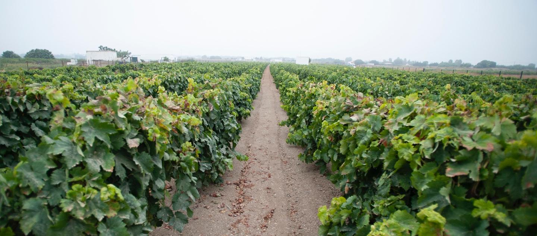 Lugar de los viñedos de los vinos de Chiclana
